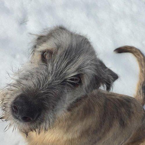 Irish Wolfhound puppy looking at the camera
