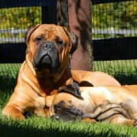 Two Bullmastiffs in the grass
