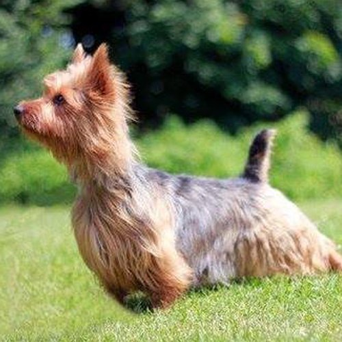 Regal Australian Terrier