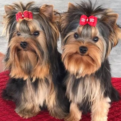 Two happy Yorkies