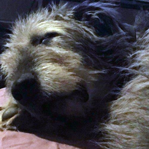 Irish Wolfhound sleeping