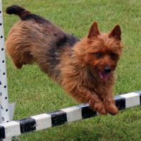 Austrian Terrier over the jump
