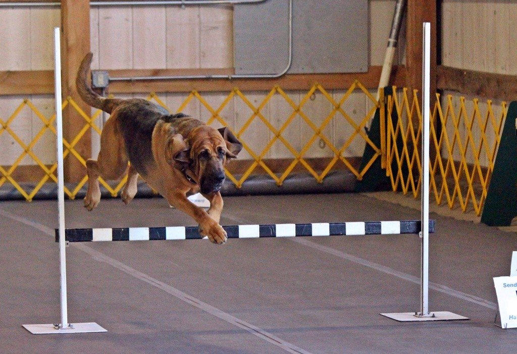 Bloodhound jumping obedience jump