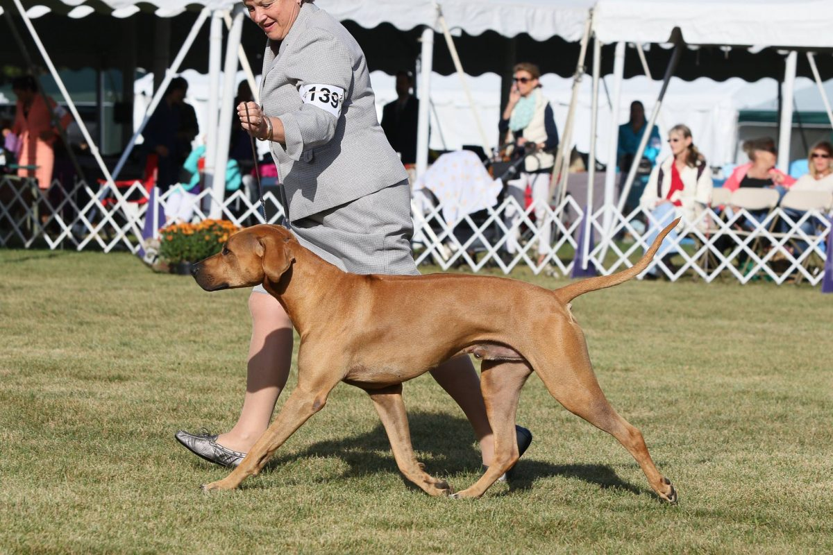 Rhodesian Ridgeback in show ring