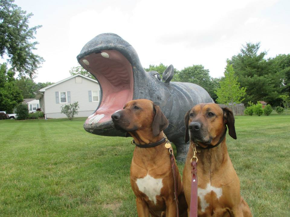 Two Rhodesian Ridgebacks and a Hippo