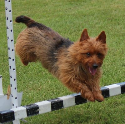 Australian Terrier jumping