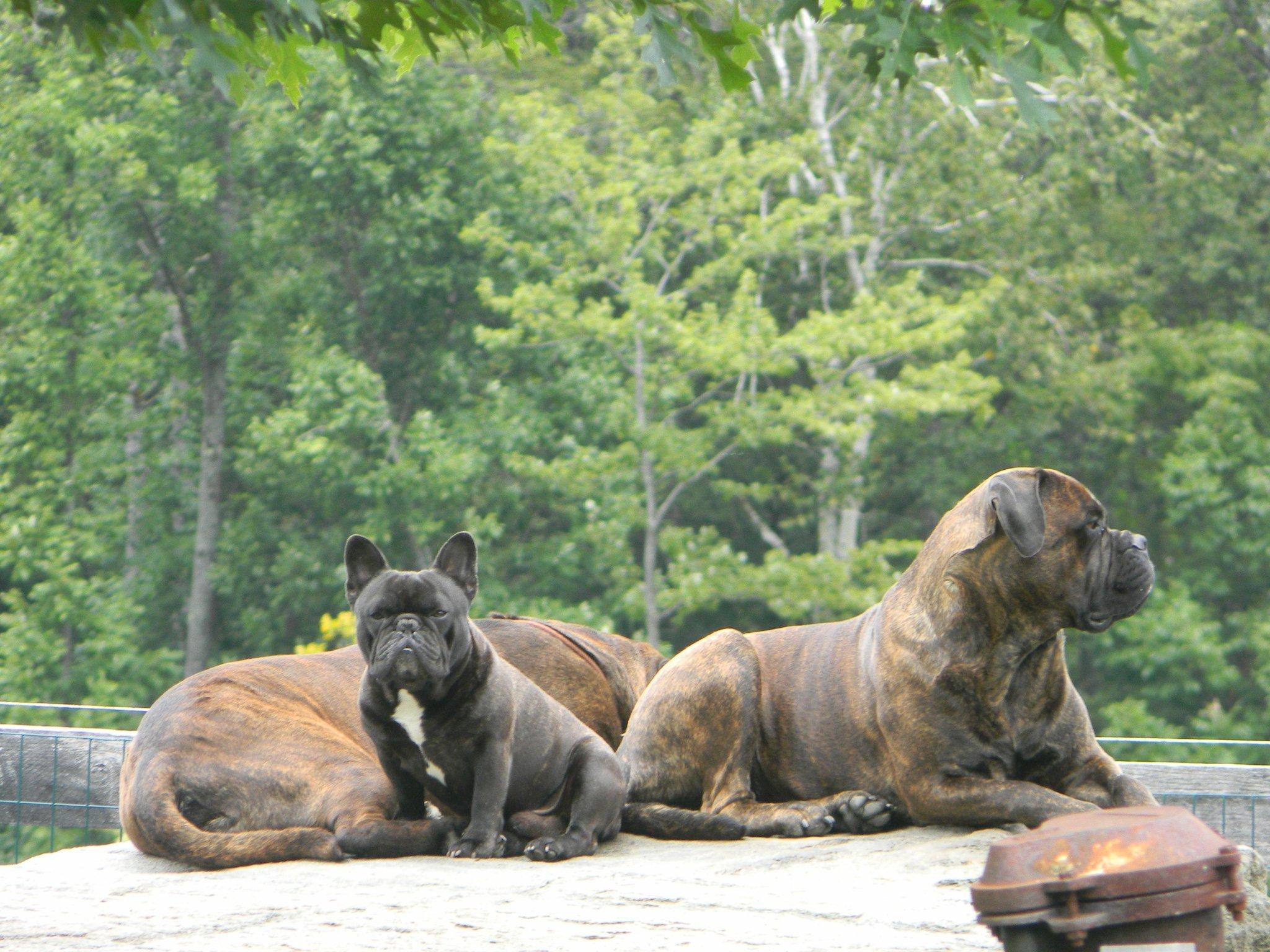 Bullmastiff and French Bulldog just chillin'