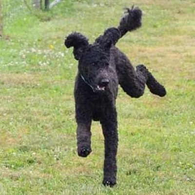 Black Poodle running