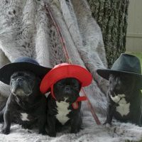 French Bulldogs with hats